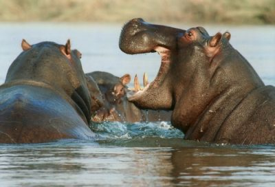 sennik hipopotam
