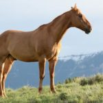 Sennik koń