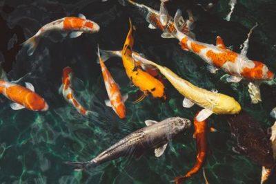 sennik ryba