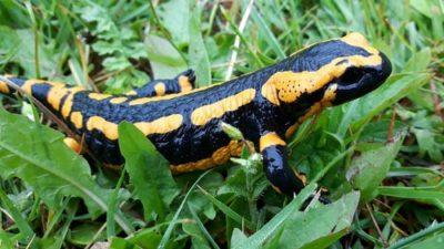sennik salamandra