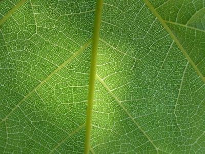 sennik zieleń