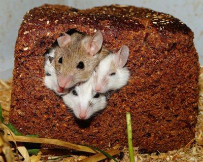 sennik myszy