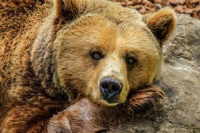 sennik niedźwiedź