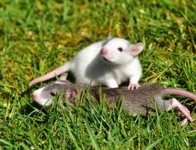 sennik szczur